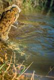 Burbot (Lota lota) is caught on fishing line for bottom fishing in forest river