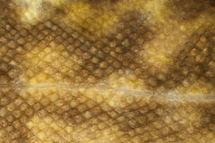 Burbot (Lota lota) skin close-up Stock Images