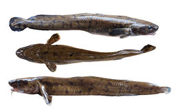 Burbot Royalty Free Stock Photo