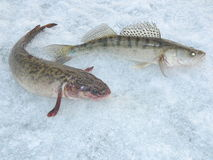 Burbot and zander. Fishing on the river Оb Royalty Free Stock Photo