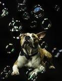 Burbujas de jabón de observación del perro Imagenes de archivo