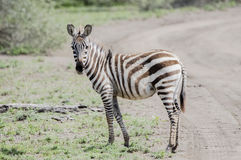 Burchel`s Zebra Equus quagga burchellii on the Plains of the Serengeti Stock Photos