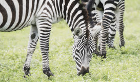 Burchel`s Zebra Equus quagga burchellii on the Plains of the Serengeti Stock Images