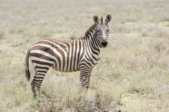 Burchel`s Zebra Equus quagga burchellii on the Plains of the Serengeti Stock Photo