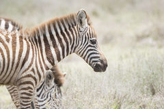 Burchel`s Zebra Equus quagga burchellii on the Plains of the Serengeti Stock Photography