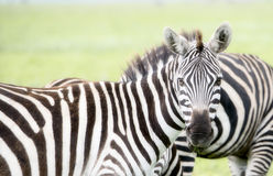 Burchel`s Zebra Equus quagga burchellii on the Plains of the Serengeti Royalty Free Stock Images