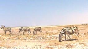 Burchell's斑马在埃托沙国家公园,纳米比亚 股票视频