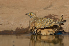 Burchell's sandgrouse. Pigeon-like birds with cryptic coloration.  Pointed wings, short bills and legs.  Swift and powerful flight.  Commute considerable Royalty Free Stock Photo