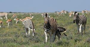 Burchell在非洲灌木, Etosha,纳米比亚野生生物徒步旅行队的` s斑马 影视素材