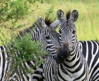Burchell的斑马在乌干达的平原一起站立 免版税库存照片