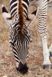 Burchell的斑马的正面图 库存图片