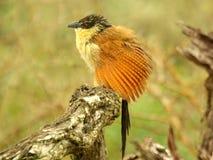 Νότια αφρικανικά πουλιά Στοκ Εικόνες