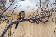 Burchell Coucal στο εθνικό πάρκο Kruger, Νότια Αφρική στοκ εικόνες