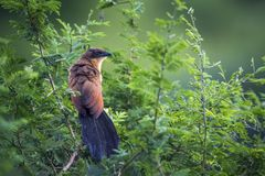 Burchell Coucal в национальном парке Kruger, Южной Африке Стоковая Фотография