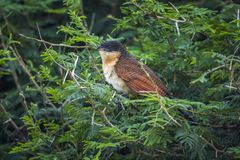 Burchell Coucal в национальном парке Kruger, Южной Африке Стоковые Фото