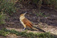 Burchell Coucal в национальном парке Mapungubwe, Южной Африке Стоковые Изображения