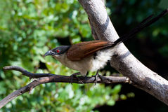 Burchell coucal. Rare capture of very shy elusive bird stock photography