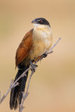 burchell coucal s Royaltyfria Bilder
