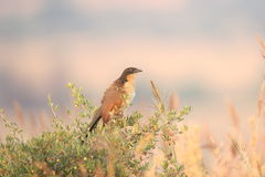 burchell coucal s Arkivfoto