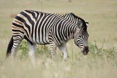 burchell obszaru trawiasty s zebra zdjęcia royalty free