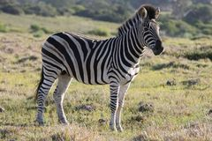 Burchell or Plains Zebra Royalty Free Stock Images