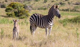 Mother Zebra and Her Foal. Burchell or Plains Zebra Mom and Foal Royalty Free Stock Image