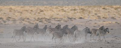 Burchell ` s在尘土, etosha nationalpark,纳米比亚的斑马牧群 免版税库存照片