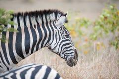 Burchell ` s斑马在克留格尔国家公园 库存照片