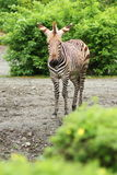 зебра burchell s Стоковые Фото