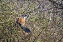 Burchell s Coucal в национальном парке Kruger Стоковые Фотографии RF