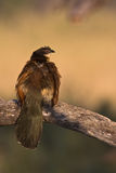 Burchell's Coucal Royalty Free Stock Images