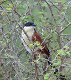 Burchell's Coucal Stock Image