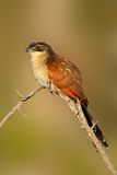 Burchell's coucal stock photography
