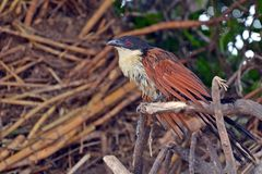 Burchell's Coucal (Centropus burchelli) stock images