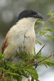 Burchell's Coucal (Centropus burchellii) Stock Photography