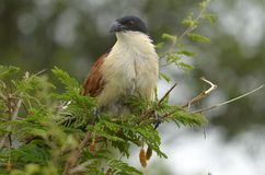 Burchell's Coucal (Centropus burchellii) Royalty Free Stock Image