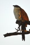 Burchell's Coucal (Centropus burchellii) Royalty Free Stock Photos