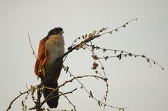 Burchell's Coucal (Centropus burchellii) Royalty Free Stock Photo