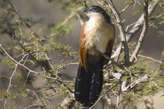 White-browed coucal (Centropus superciliosus) Stock Photography