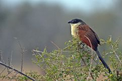 Burchells Coucal (Centropus burchellii) Royalty Free Stock Photography