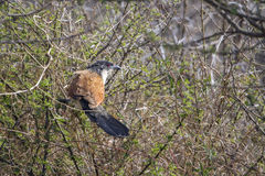 Burchell s Coucal i den Kruger nationalparken Royaltyfria Foton