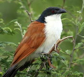 Burchell's Coucal stock photo