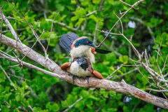 Burchell's Coucal mating in a branch. Royalty Free Stock Photos