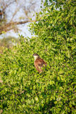 Burchell's coucal in a tree. stock photos