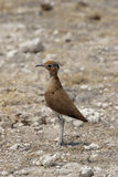 Burchell's Courser stock photography
