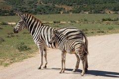Burchell` s gestreept Zuid-Afrika Adoo Nationaal Park Royalty-vrije Stock Afbeeldingen