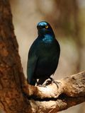 Burchell's Glossy-Starling Stock Photography