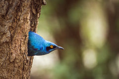 Burchell's Glossy-Starling in Kruger National park, South Africa Royalty Free Stock Images