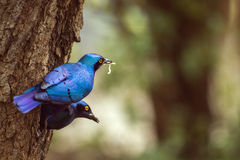Burchell's Glossy-Starling in Kruger National park, South Africa Royalty Free Stock Image