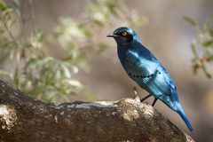 Burchell's Glossy-Starling in Kruger National park Royalty Free Stock Photo